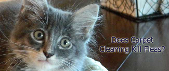 carpet cleaning kill fleas