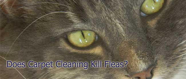 does carpet cleaning kill fleas